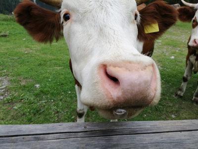 Mucca tenerissima sulla Traversata Carnica