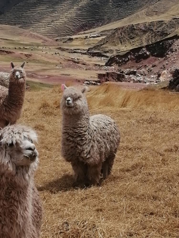 bellissimi lama in Perù