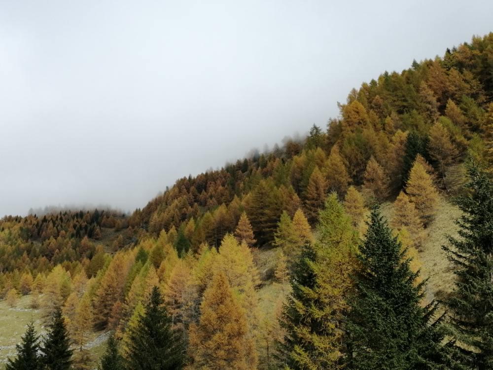 Pini in Alta Val Camonica