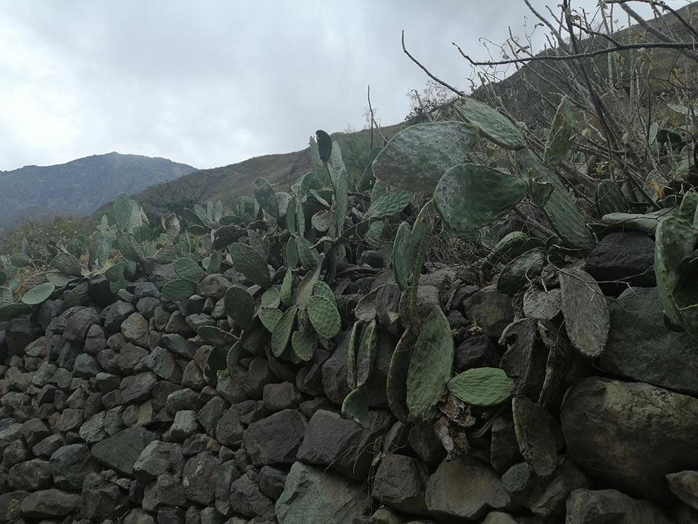 Cactus sul Colca