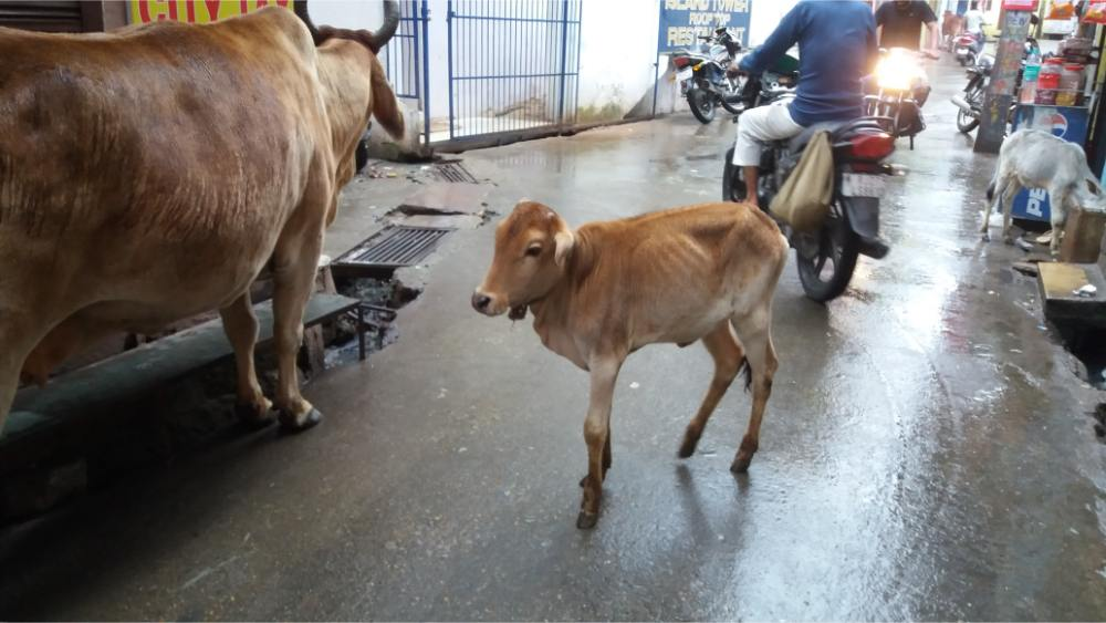 Mucche per le strade indiane