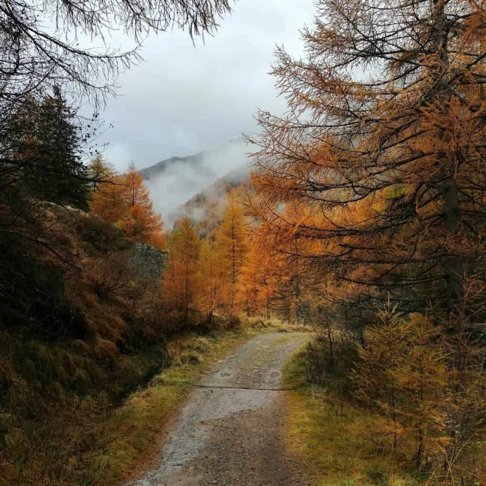 Larici e abeti in autunno
