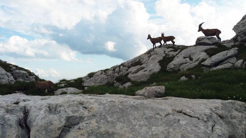 Stambecchi tra le pietre