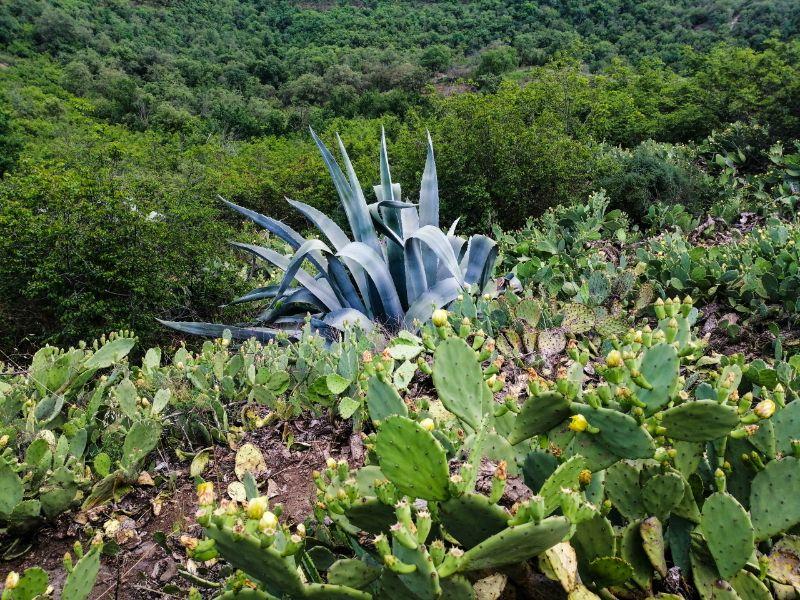 Fichi d'India in fiore e agavi sul Monte Ceva