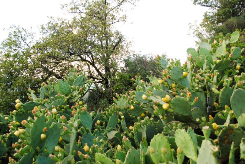 Fichi d'india in fiore sul Monte Ceva in giugno