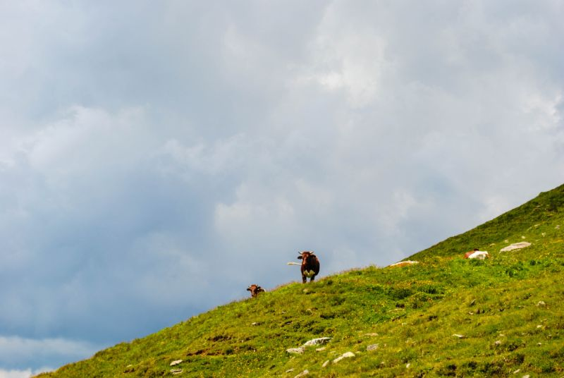 mucche in alpeggio a Lappago