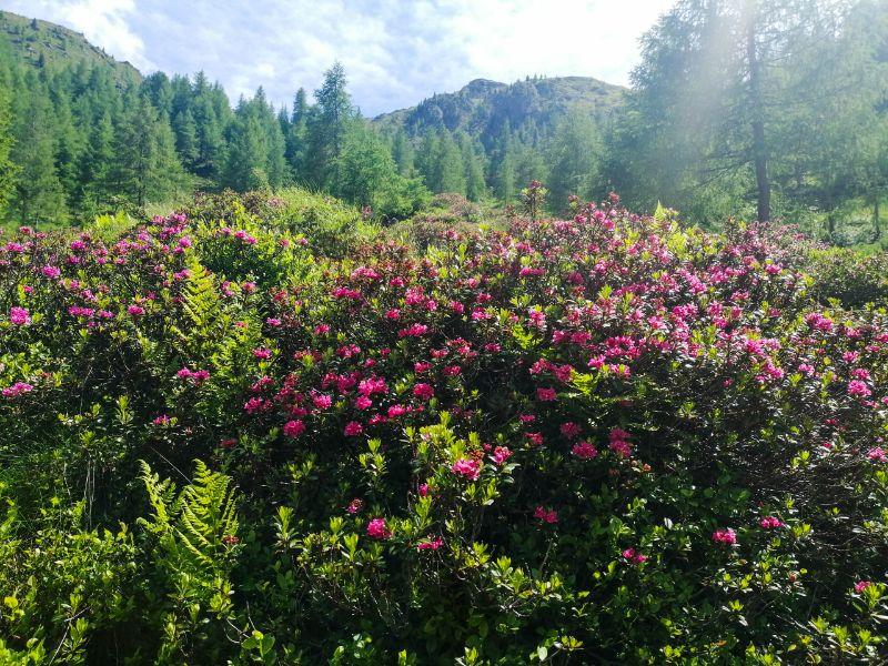rododendri verso forcella gioco del corno
