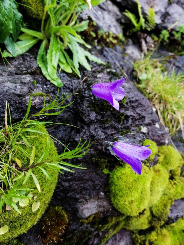 Campanule tra roccia e muschio