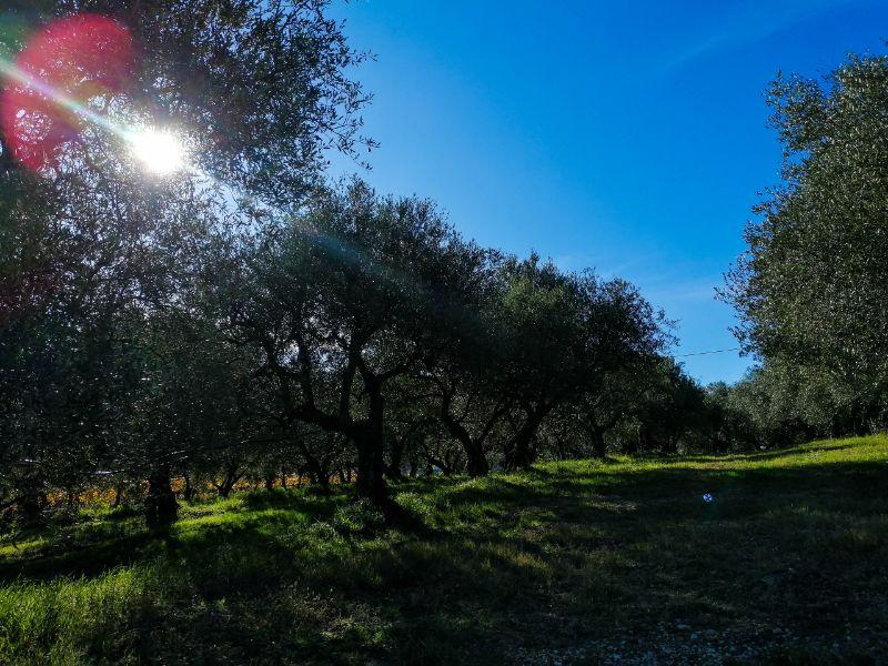 ulivi lungo i sentieri dei Colli Euganei