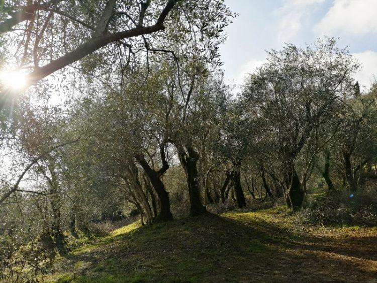 ulivi dei Colli Berici